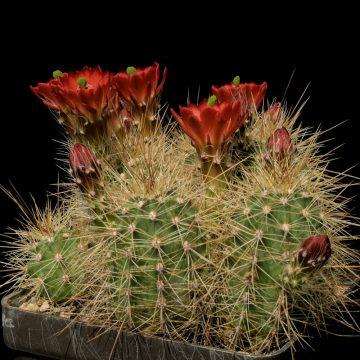 Echinocereus coccineus, USA, New Mexico, Torrance County (Video)