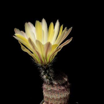 Echinocereus pectinatus subsp. rutowiorum, Mexico, Chihuahua, Chihuahua - Cuauthemoc (Video)