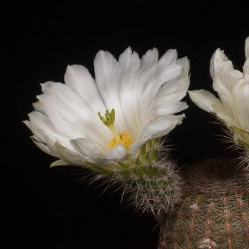 Zeitraffer Echinocereus rigidissimus, weiße Blüte (Video)