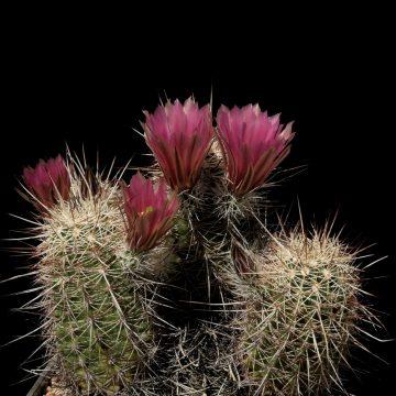 Echinocereus chloranthus x fendleri, Mexico, Chihuahua, El Sueco (Video)
