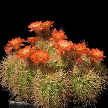 Echinocereus polyacanthus, Mexico, Durango, General Escobedo, LAU 1379 (Video)
