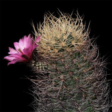 Echinocereus lindsayi, Mexico, Baja California (Video)