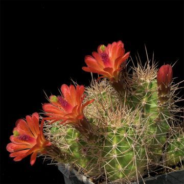 Echinocereus mojavensis, USA, Arizona, Kayenta (Video)