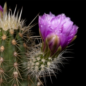 Zeitraffer Echinocereus ledingii, USA, Arizona (Video)