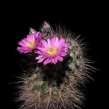 Echinocereus adustus subsp. roemerianus, Mexico, Durango, Canatlan (Video)