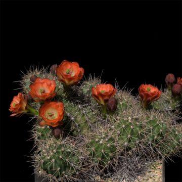 Echinocereus coccineus subsp. roemeri, USA, Texas, Gillespie County (Video)